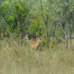Impala Krugerpark