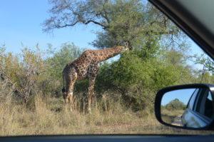 Giraf Krugerpakr