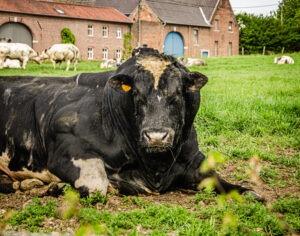 Een stier in Grote-Spouwen